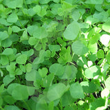 Yellow Trefoil Green Manure Seeds