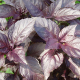 Basil Red Rubin Herb Seeds