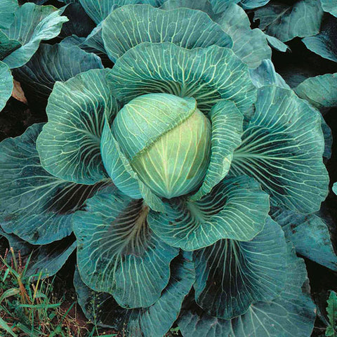 Cabbage Kilaton F1 Seeds (AGM)