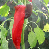 Cayenne Red Chilli Seeds
