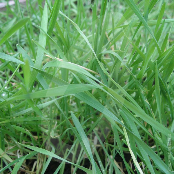 Forage Rye (Hungarian Grazing) Green Manure Seeds