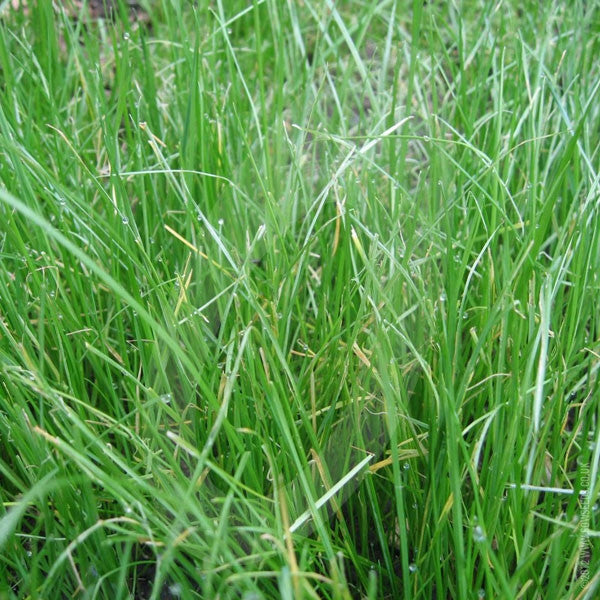 Italian Ryegrass Green Manure Seeds