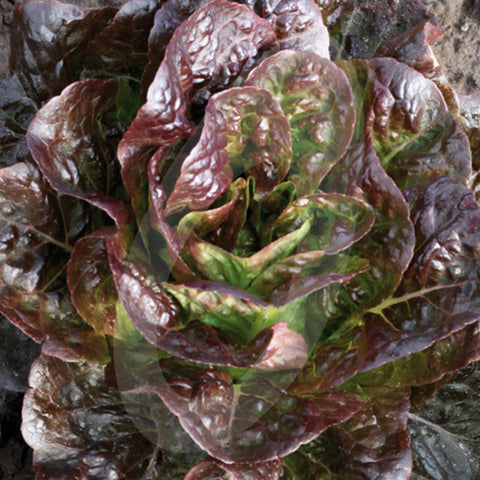 Lettuce Moonred Seeds