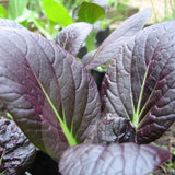 Pak Choi Red Choi F1 Seeds (AGM)