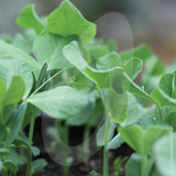 Pea Shoots Serge Seeds
