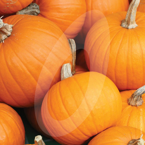 Pumpkin Jack O' Lantern Vegetable Seeds