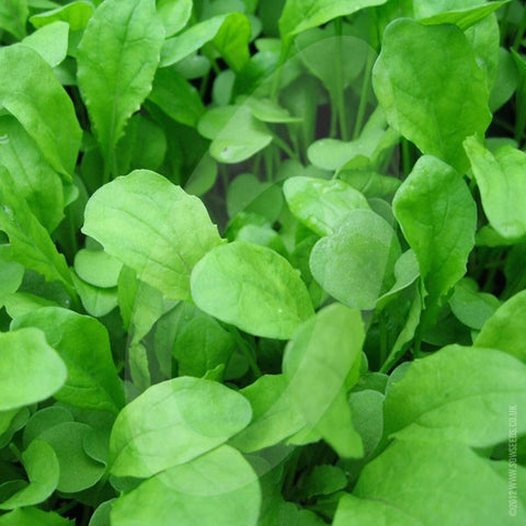 Salad Rocket Seeds