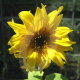 Sunflower Giant Yellow Cut Flower Seeds