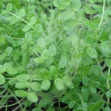 Winter Tares Green Manure Seeds