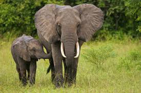 Trump for animal friendly Ivory!!!