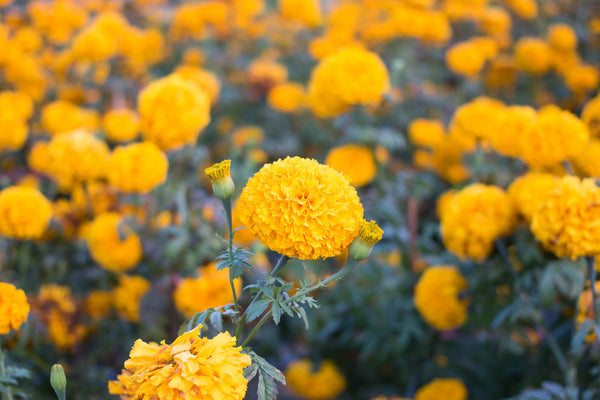 Calendula - The Healing Golden Flower