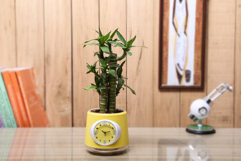 Nurturing Green Cutleaf Indoor Bamboo with Clock Pot