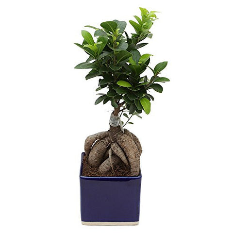 Exotic Green Alluring Ficus 3 Year Old Bonsai Plant Blue Pot