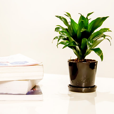 Nurturing Green Dracaena Indoor Plant in Black Ceramic Pot
