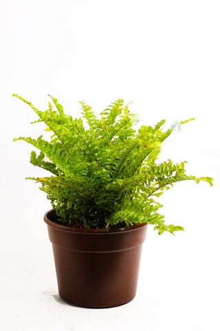 Nurturing Green Fern Plant in brown pot