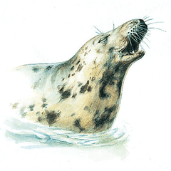 Grey seal, Isles of Scilly