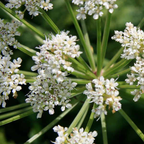 Water hemlock, Coverack, West Cornwall