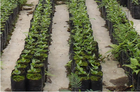 Rows and Rows of Young Arabica Trees Growing in the Protective Environment of Nurseries