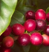Ripe Arabica cherries, perfect for picking