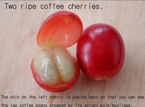 Two Ripe Cherries -  One With Its Skin Peeled to Expose the Coffee Seeds Surrounded in Their Pulp