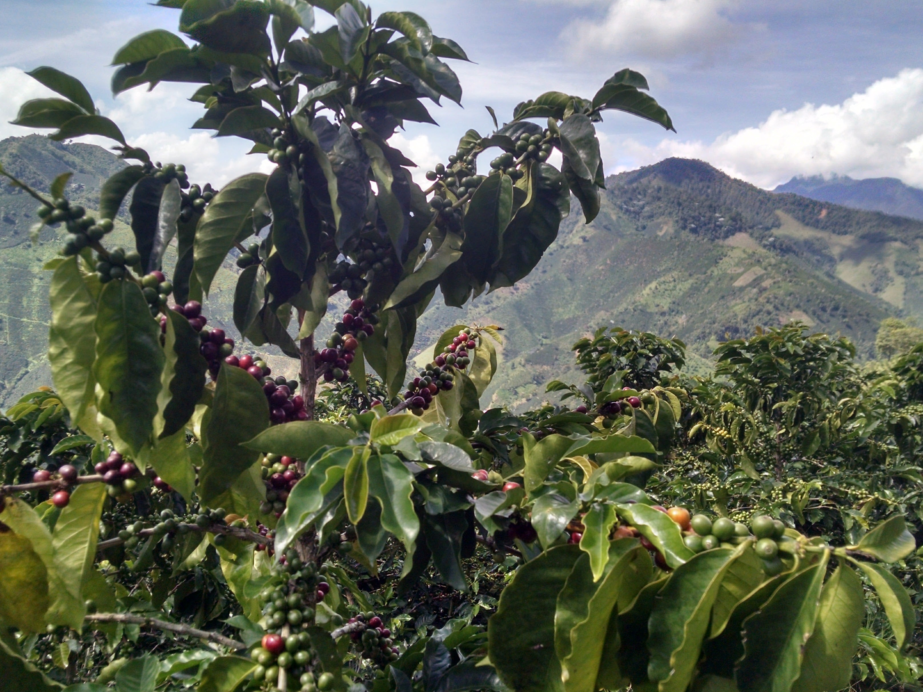 coffee cherries at coffee farm in jardin colombia