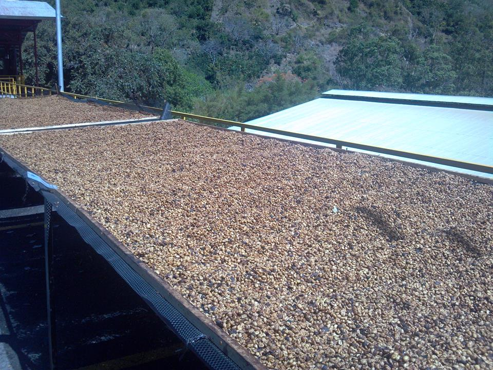 costa rica coffee farm la minita specialty coffee fosterhobbs coffee drying