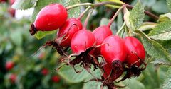 Sourcing our Organic Rosehip Oil