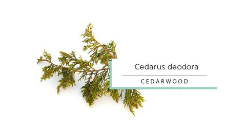 Himalayan Cedarwood essential oil