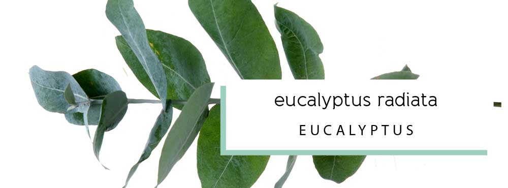 eucalyptus radiata essential oil profile and uses