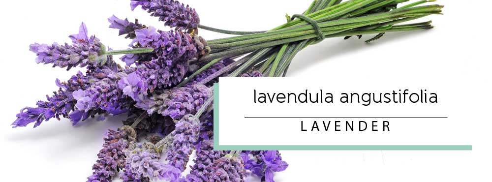 Learn more about organic French Lavender Essential Oil