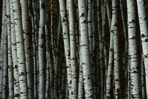 Birch Tar Essential Oil