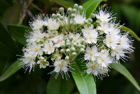 Lemon Myrtle Commercial Essential Oil