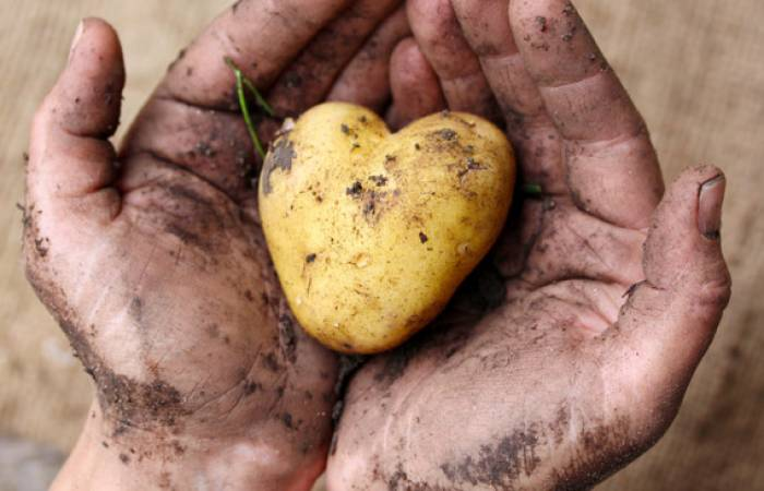 Heart-shaped potato in soil-covered hands