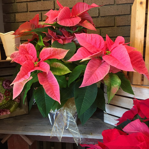 Classy Pink Poinsettia