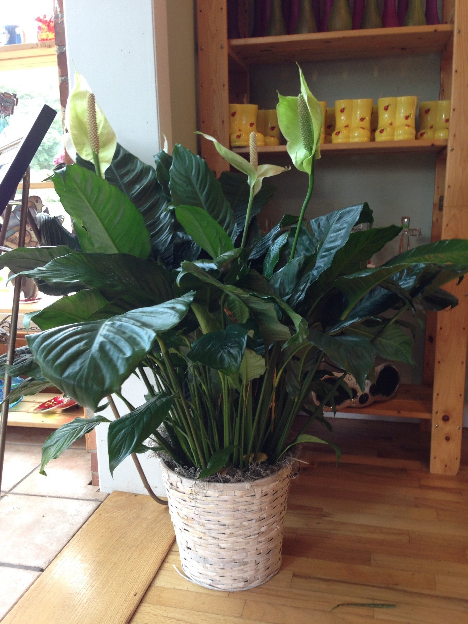 The large plant peace lily flowers by evelyn the large plant peace lily izmirmasajfo