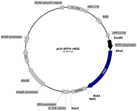 lentivector, plasmid map, rNIS, NIS