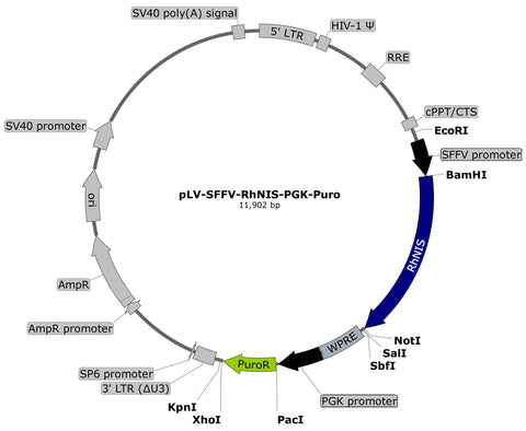 plasmid map, RhNIS puro