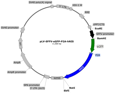 plasmid map, eGFP hNIS