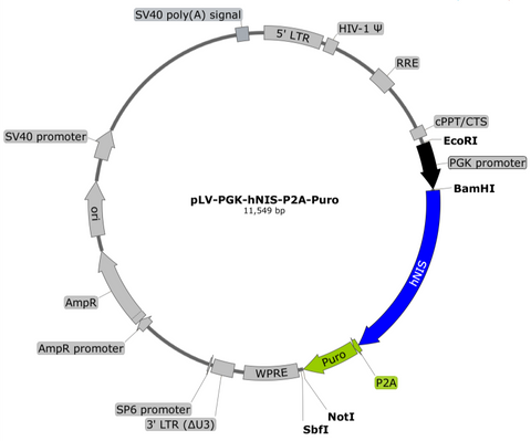 plasmid map PGK hNIS puro