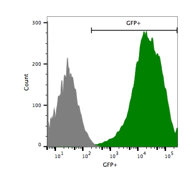 Flow cytometry shows high GFP expression in 4T1-Fluc-Neo/eGFP-Puro cells