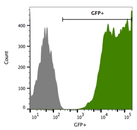 Flow cytometry for GFP shows high GFP expression in 4t1-eGFP-Puro cells