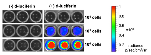 Xenogen imaging with D-luciferin substrate shows high luciferase expression in 4T1-Fluc-Neo/eGFP-Puro cells