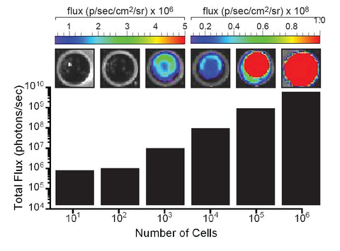 hepa1-6 fluc-neo/eGFP-puro transduced cell flux luciferase