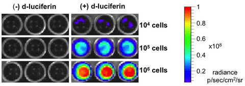 Xenogen imaging with D-luciferin substrate shows high luciferase expression in 4T1-Fluc-Neo/iRFP-Puro cells