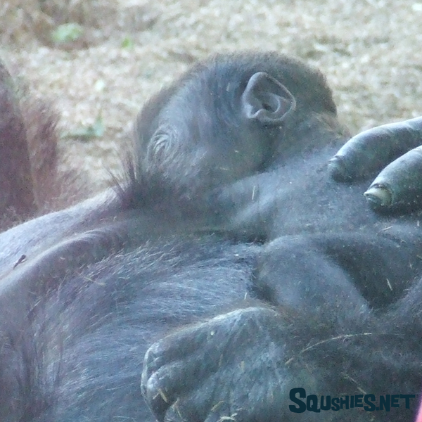 Week Old Gorilla -  San Diego Zoo