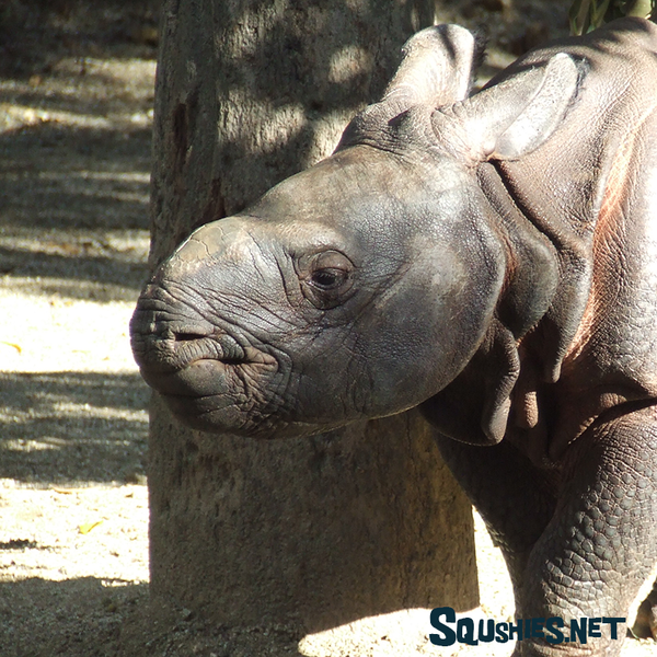 Baby Greater One Horned Rhino - San Diego Zoo Safari Park