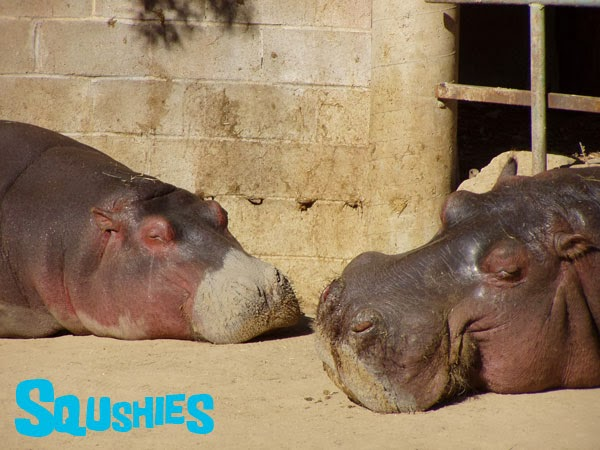common hippopotamuses