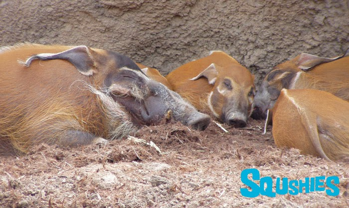 sleeping hogs