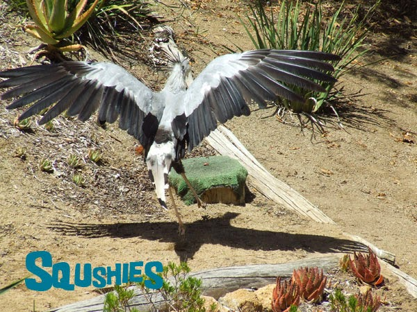 Secretary bird  wingspan