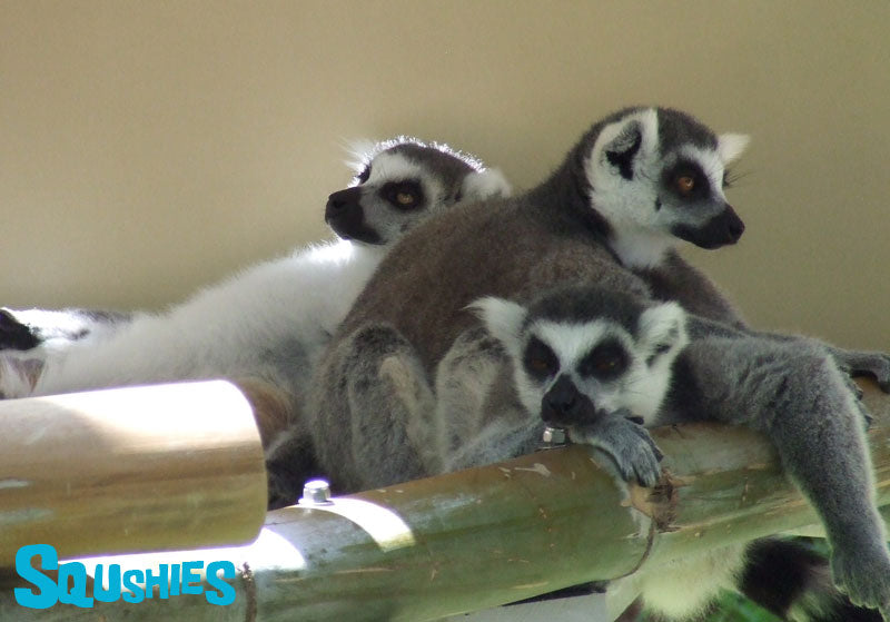 sleepy lemurs